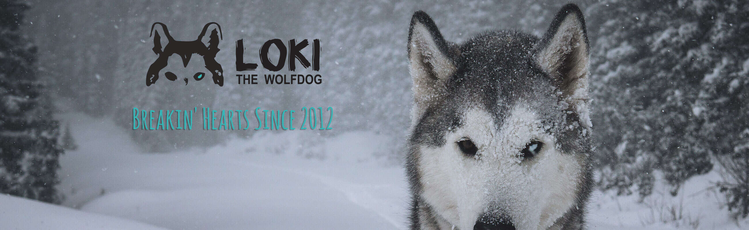 Loki The Wolf Dog